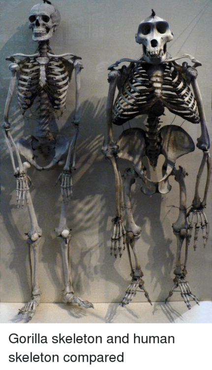 gorilla-skeleton-and-human-skeleton-compared-27898344.png